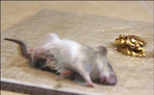 چسب موش گیر Top Gum بهترین روش گرفتن موش